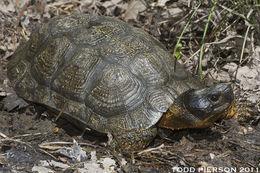 Image of Wood Turtle