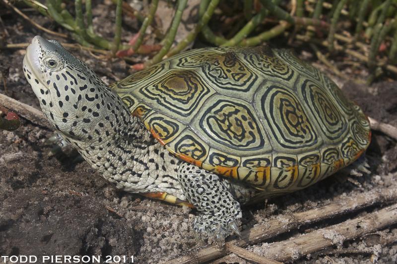 Image of Diamondback Turtle