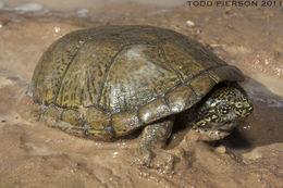 Image of Sonoran mud turtle