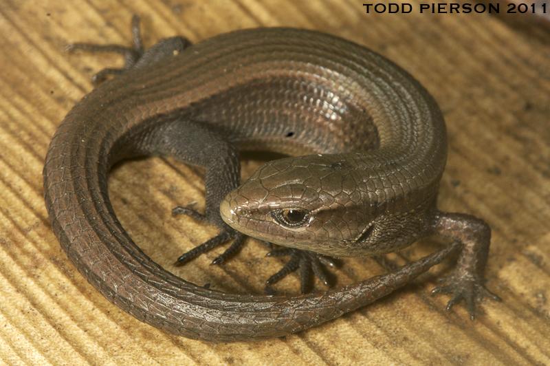 Image of Morelet's Alligator Lizard