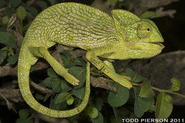 Image of Arabian Chameleon