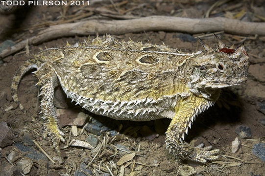 Image of Texas Horned Lizard