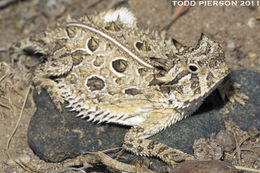 Image of Texas Horned Lizard