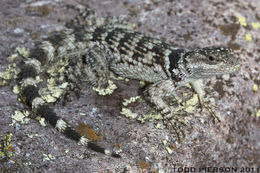 Image of Crevice spiny lizard