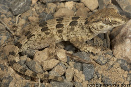 Image of <i>Bunopus spatalurus</i> Anderson 1901