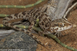Image of Baiuch Rock Gecko