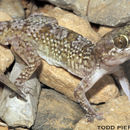Image of Persia Leaf-toed Gecko