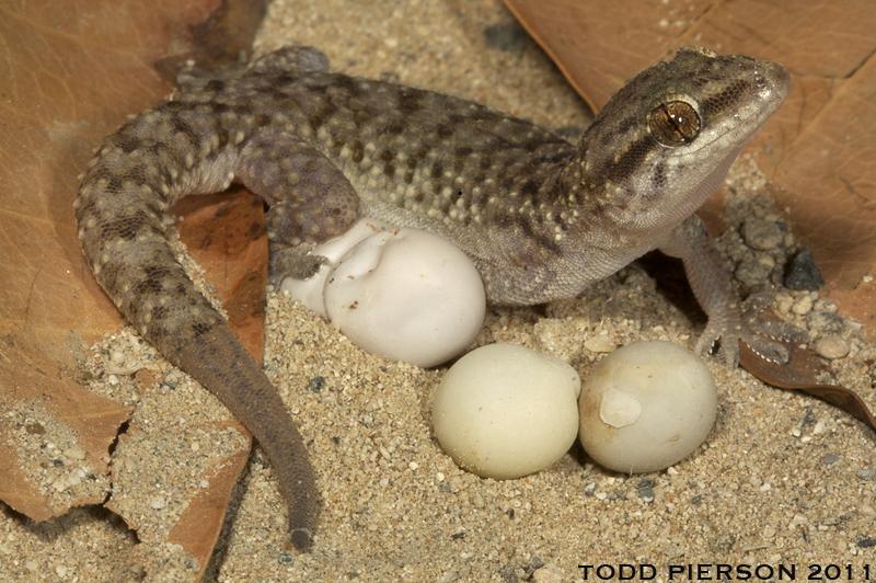 Image of Heyden's gecko