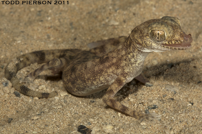 Image of Gulf Short-fingered Gecko