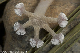 Image of Common fan-footed gecko