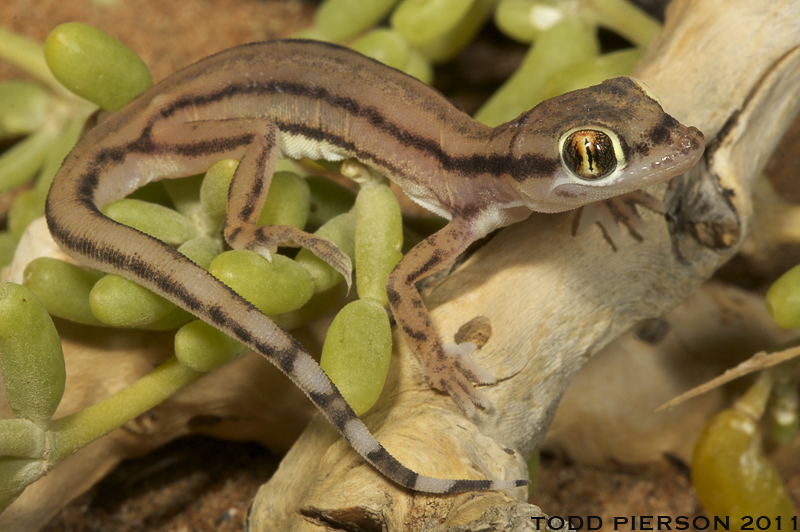 Image of Arabian Short-fingered Gecko