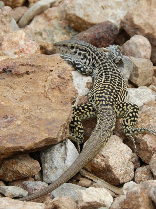 Image of Common Checkered Whiptail