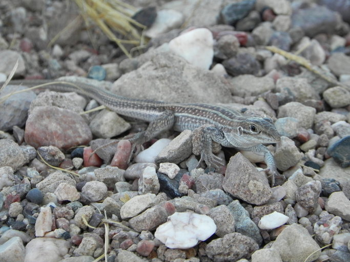 Image of Chihuahuan spotted whiptail