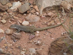 Image of Gray Checkered Whiptail