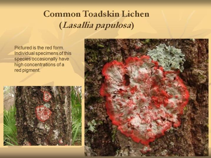 Image of <i>Lasallia papulosa</i> (Ach.) Llano