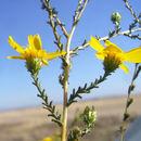 Image of tarweed