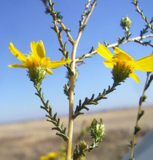 Image of San Joaquin tarweed