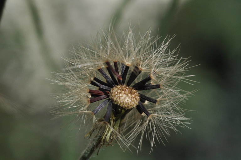 Image of wall hawkweed