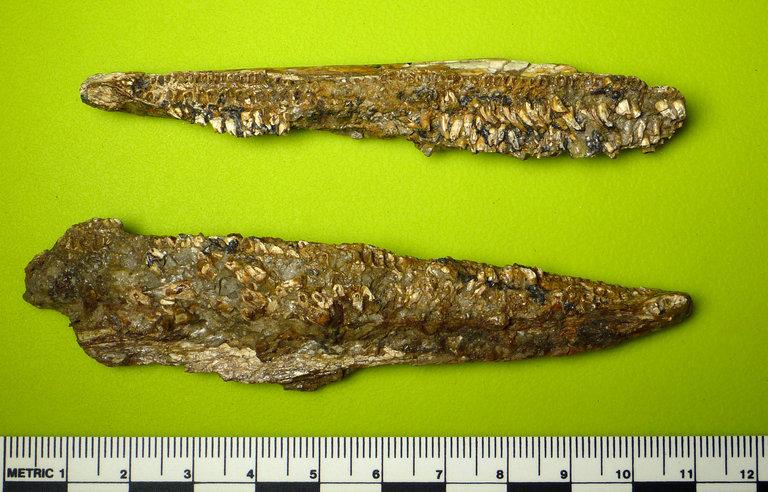 Image of Enchodontidae