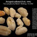 Image of <i>Arcopsis adamsi</i> (Dall 1886)