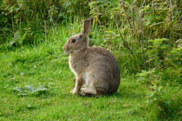 Image of European rabbit