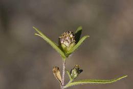 Image of <i>Zinnia tenuis</i> (S. Wats.) J. L. Strother