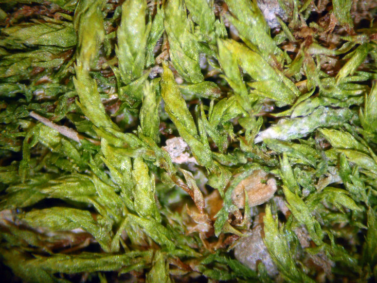 Image of silver-moss