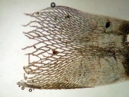Image of Lindberg's sphagnum