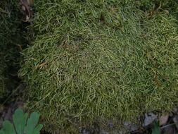 Image of tripterocladium moss