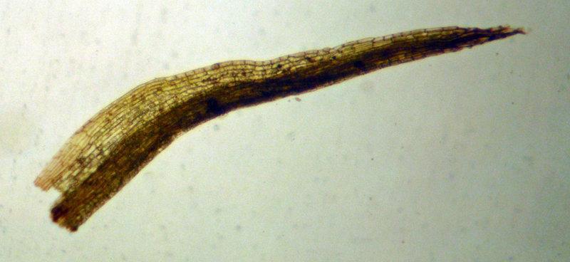Image of Bolander's bruchia moss