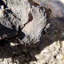 Image of Nylander's navel lichen