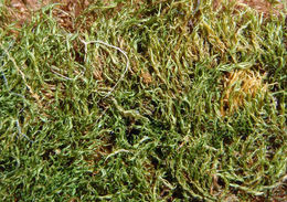 Image of ditrichum moss