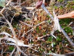 Image of entosthodon moss