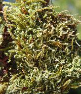Image of <i>Metzgeria violacea</i> (Ach.) Dumort.