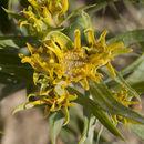 صورة <i>Oonopsis wardii</i> (A. Gray) Greene