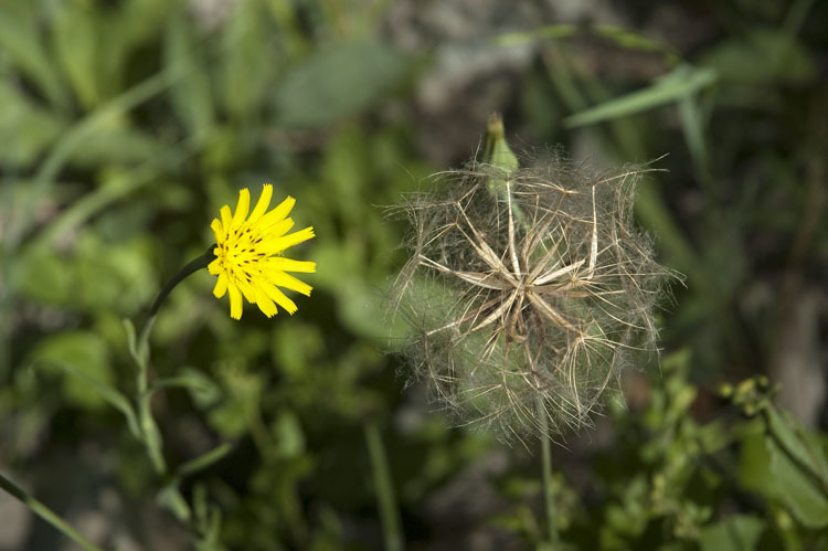 Image of Cutleaf Viper's-grass