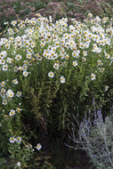 Image of giantdaisy