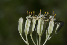 Image of groovestem Indian plantain