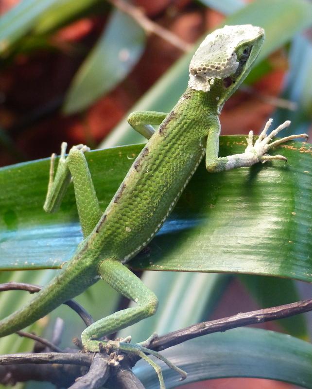 Image of Casque-headed lizard