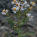 Image of gray aster