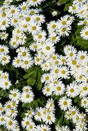 Image of Nippon daisy