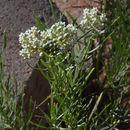 Image of plains milkweed