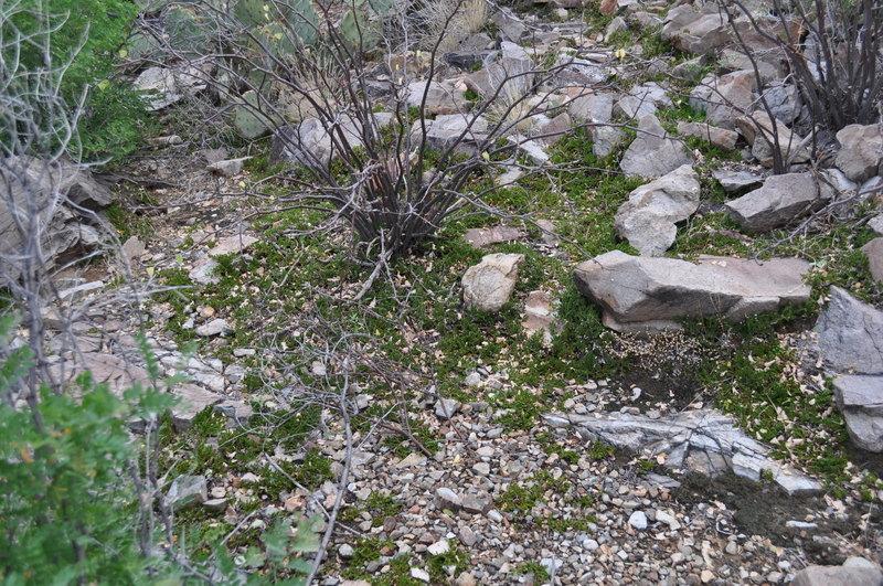 Image of Arizona spikemoss