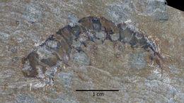 Image of <i>Anomalocaris canadensis</i>