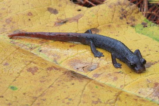 Image of <i>Aquiloeurycea quetzalanensis</i> (Parra-Olea, Canseco-Márquez & García-París 2004)