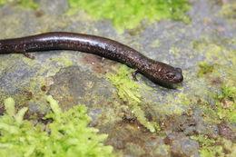 Image of Veracruz Worm Salamander