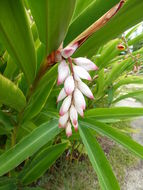 Image of shellflower