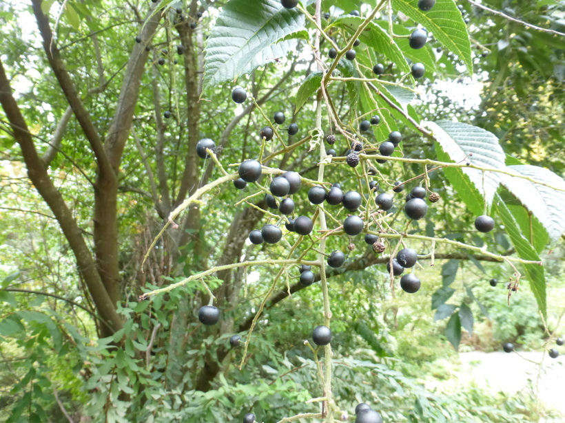 Image of <i>Meliosma cuneifolia</i> Franch.