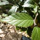 Image of <i>Betula calcicola</i> (W. W. Sm.) P. C. Li