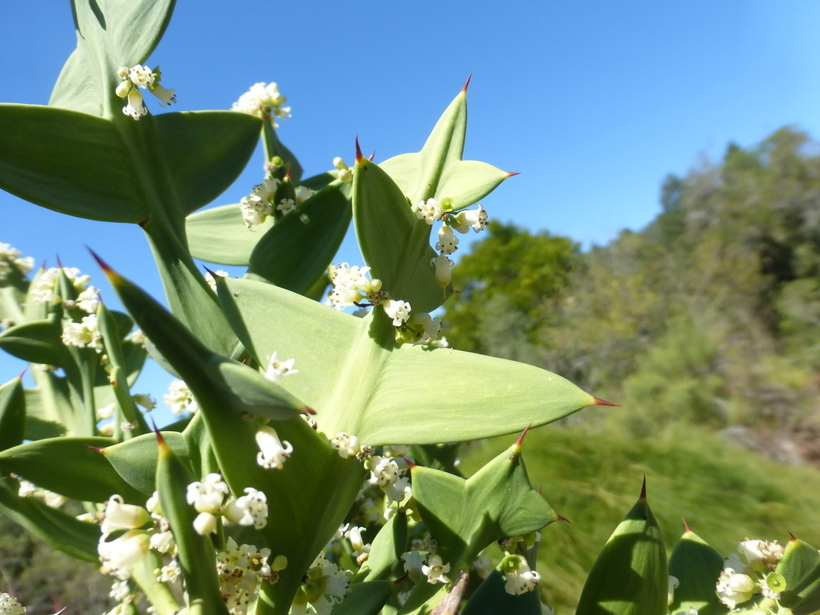 Image of <i>Colletia paradoxa</i> (Spreng.) Escalante